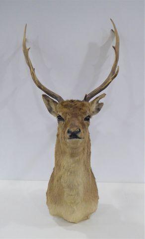 Daim / Fallow Deer (Dama dama) naturalisé en cape  H. 96 cm  L. 4...