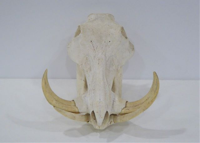 Massacre de phacochère / Warthog (Phacochoerus aethiopicus) H. 25...