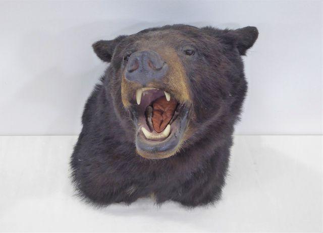 Ours noir / Black bear (Ursus americanus) (II/B) naturalisé en ca...