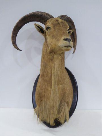Mouflon à manchettes / Barbary Sheep (Ammotragus lervia) (II-B) n...