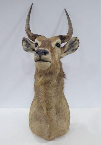 Antilope Cobe à croissant / Common Waterbuck (Kobus ellipsiprymnu...