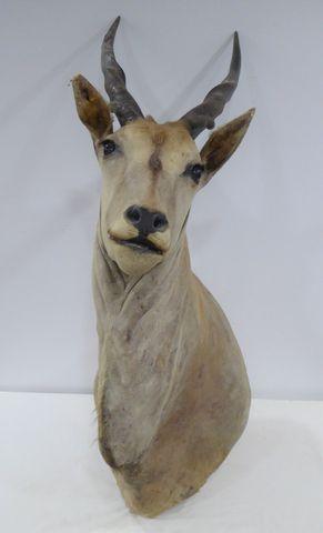 Antilope Éland du Cap (Taurotragus oryx) naturalisé en cape H. 14...