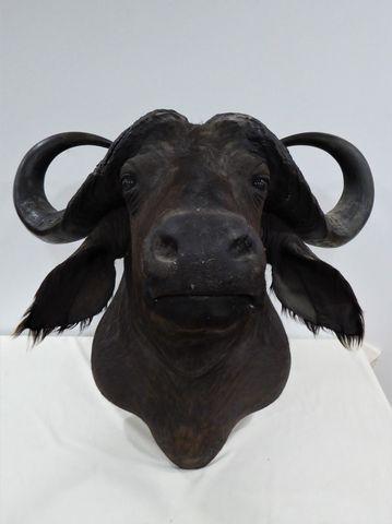 Buffle du Cap / Cape Buffalo (Syncerus caffer caffer) naturalisé ...