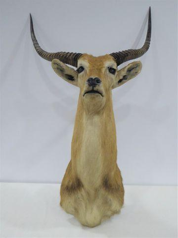 Antilope Cobe de Lewche (Kobus leche) naturalisée en cape H. 114 ...