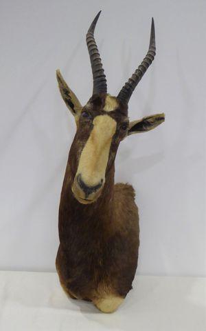 Antilope Damalisque ou Blesbok à front blanc (Damaliscus dorcas p...
