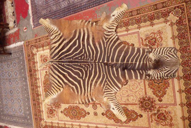 Peau de zèbre Longueur. 242 cm  Largeur. 168 cm  (Usures)