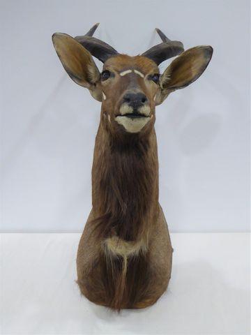 Antilope Nyala / Common Nyala ((Tragelaphus angasii) naturalisée ...