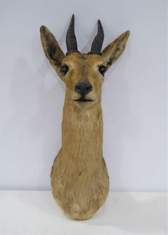 Antilope Guib Harnaché / Bushbuck (Tragelaphus scriptus) naturali...