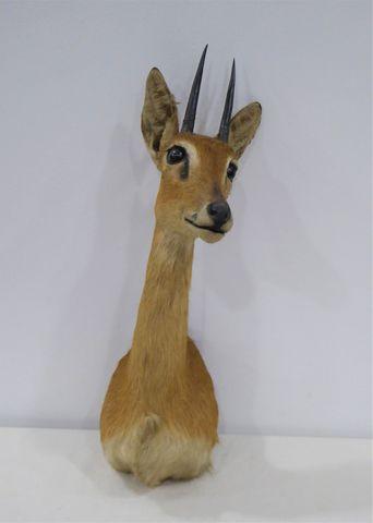 Antilope Ourebi / Orebi (Ourebia ourebi) naturalisée en cape  H. ...