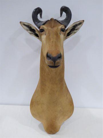 Antilope Bubale de Lichtenstein / Lichtenstein Hartebeest (Alcela...