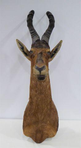 Antilope Bubale Roux ou Bubale du Cap (Alcelaphus buselaphus) nat...