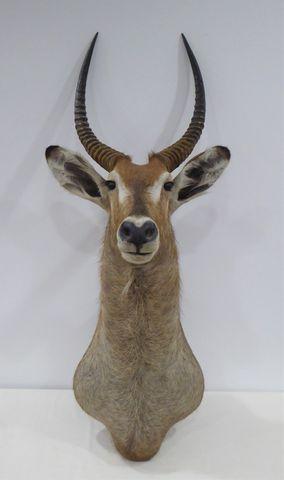 Antilope Cobe Defassa / Waterbuck (Kobus defassa) naturalisée en ...