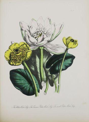 LOUDON (Jane Wells). British wild flowers. London, James Nelson a...